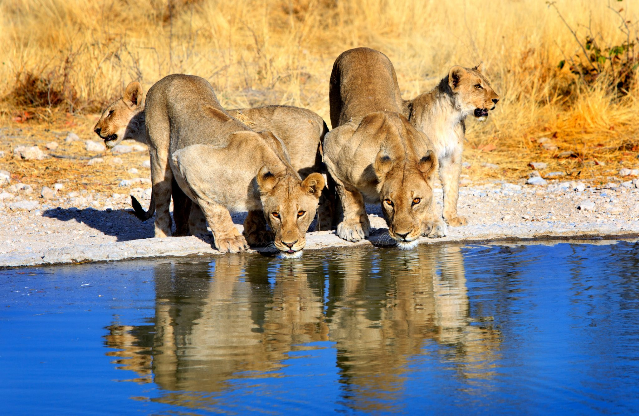 Lions drinking from a waterhole with good reflection