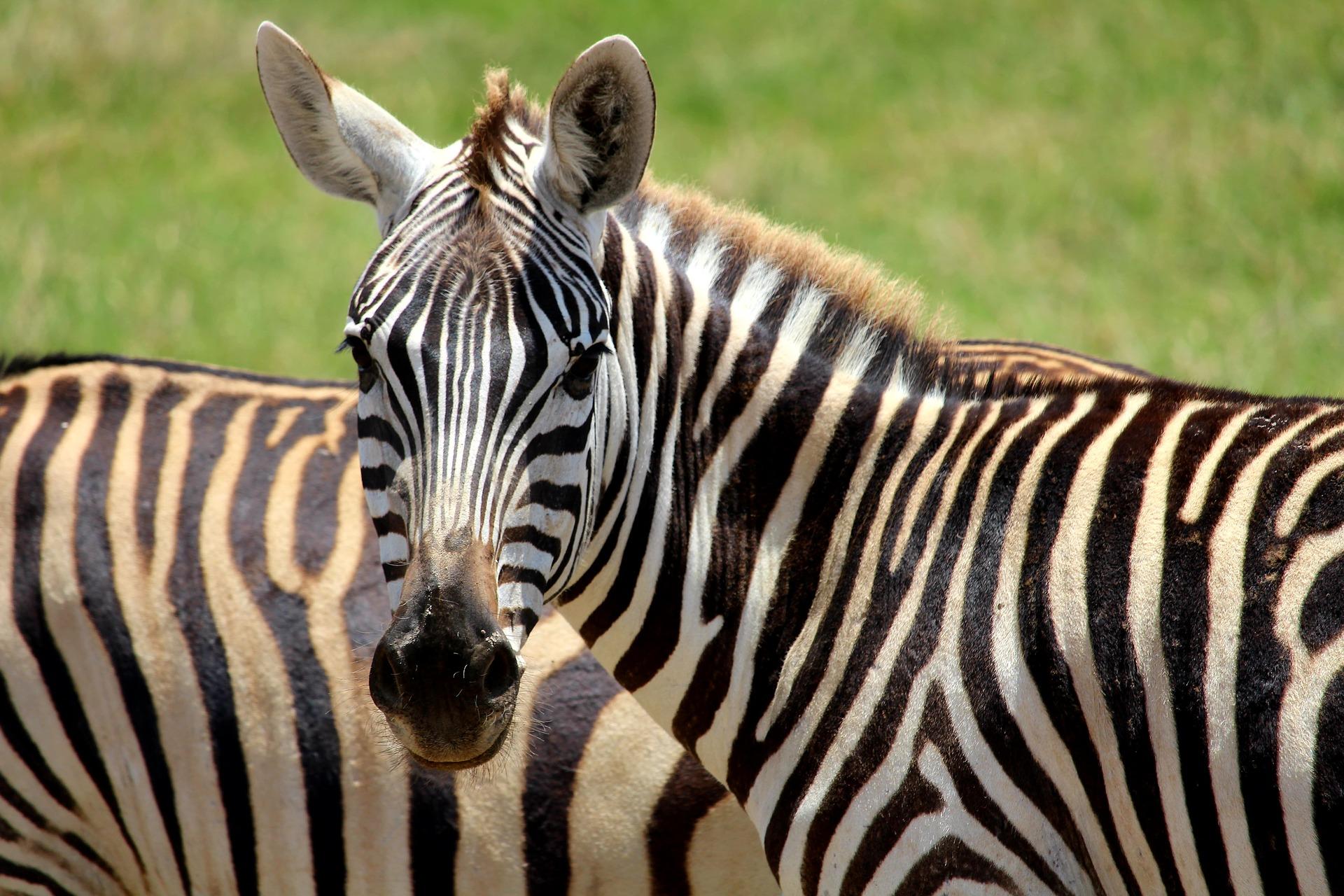 zebra-2241374_1920
