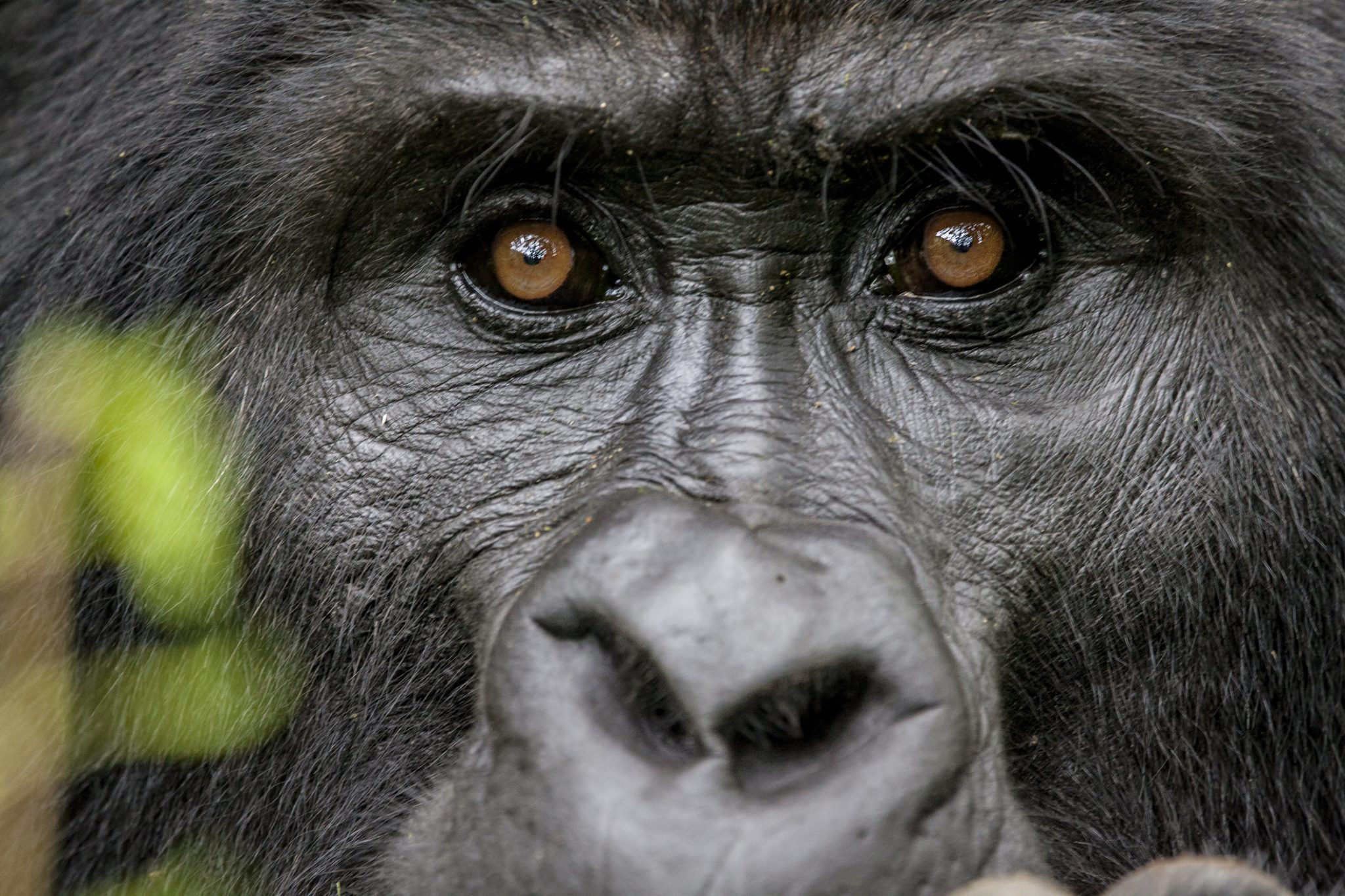 Portrait of the Endangered Silverback Mountain Gorillas