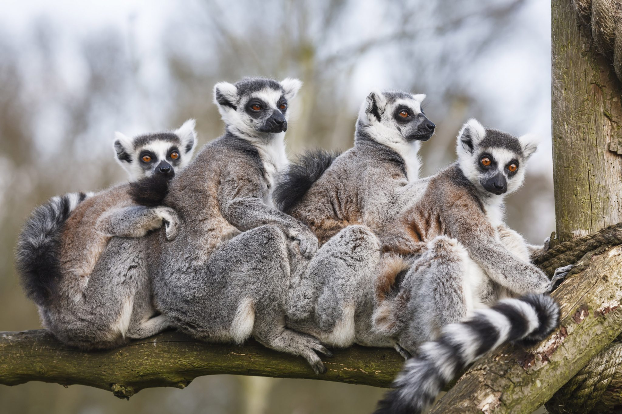 Lemur family sitting together in tree trunk
