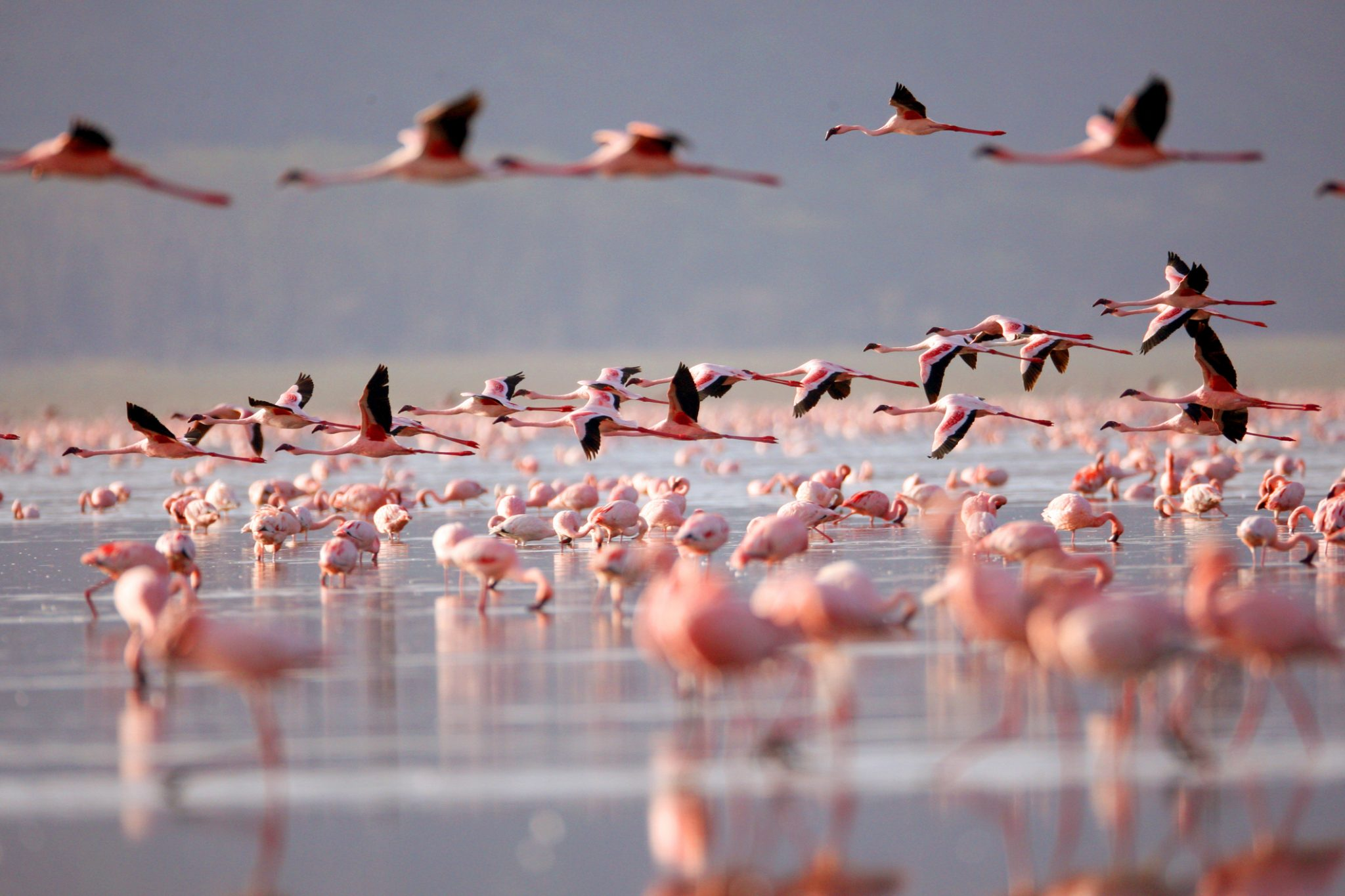 Flamingoes on Lake Nakuru